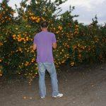 Berba mandarina 2016.